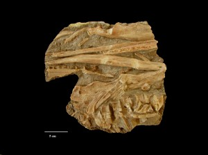Phantomosaurus neubigi (SANDER, 1997)