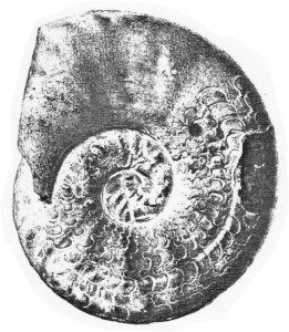 Lectotypus Ceratites philippii RIEDEL 1916