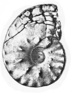 Lectotypus Ceratites pulcher RIEDEL 1916