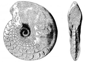 Lectotypus Ceratites semipartitus (BUCH 1849)