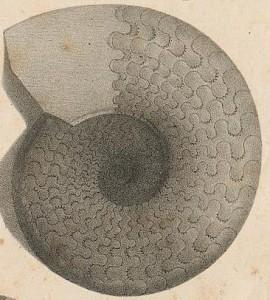 Holotypus Ceratites enodis (QUENSTEDT 1845)