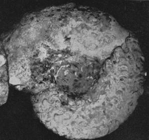 Holotypus Ceratites meissnerianus PENNDORF 1951