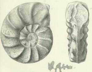 Lectotypus Ceratites evolutus PHILIPPI 1901