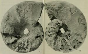 Lectotypus Ceratites nodosus (SCHLOTHEIM 1813)