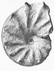 Lectotypus Ceratites postspinosus RIEDEL 1916
