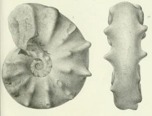 Lectotypus Ceratites spinosus PHILIPPI 1901