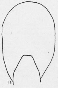 Wohnkammer-Querschnitt Ceratites meissnerianus PENNDORF 1951