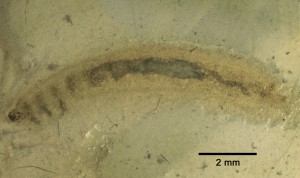 Larvula triassica PROKIN & PONOMARENKO, 2013