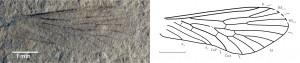 Pseudopolycentropus triasicus PAPIER, NEL u. GRAUVOGEL-STAMM, 1996