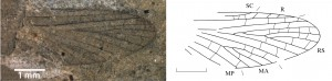 Triassodotes vogesiacus SINITSHENKOVA, MARCHAL-PAPIER, GRAUVOGEL-STAMM und GALL, 2005