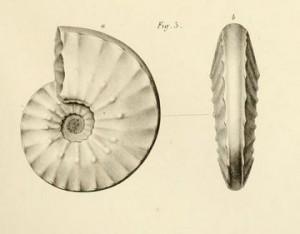 Ceratites antecedens (BEYRICH 1858)
