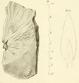 Holotypus Beneckeia tenuis (SEEBACH) 1857