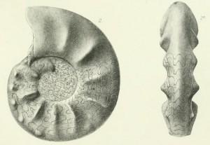 Holotypus Ceratites apertus WENGER 1957