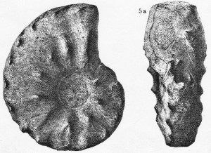 Holotypus Ceratites bussei URLICHS & MUNDLOS 1987