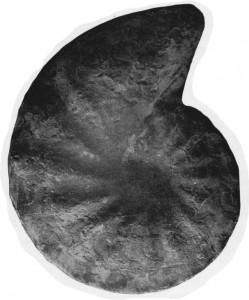 Holotypus Ceratites diversus WENGER 1957