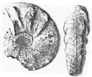Holotypus Ceratites hercynus RIEDEL 1916