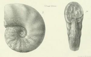 Holotypus Ceratites laevis PHILIPPI 1901
