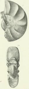 Holotypus Ceratites parabolicus WENGER 1957