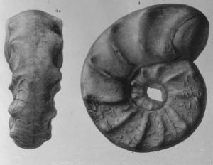 Holotypus Ceratites subspinosus STOLLEY 1916