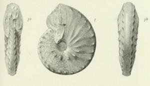 Lectotypus Ceratites atavus PHILIPPI 1901