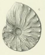 Lectotypus Ceratites flexuosus PHILIPPI 1901