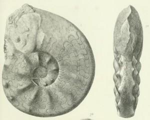 Lectotypus Ceratites laevigatus PHILIPPI 1901