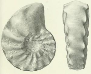 Lectotypus Ceratites minor PHILIPPI 1901
