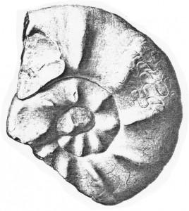 Lectotypus Ceratites raricostatus RIEDEL 1916