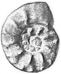 Lectotypus Ceratites rarinodosus RIEDEL 1916
