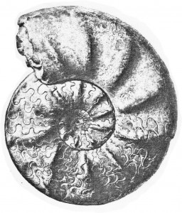 Lectotypus Ceratites tenuis RIEDEL 1916