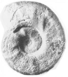 Holotypus Ceratites distractus WENGER 1957