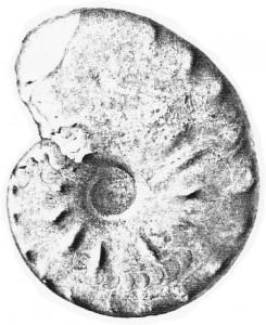 Lectotypus Ceratites discus RIEDEL 1916