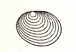 Estheria Hausmanni BERGER, Holotyp SCHMIDT (1938)