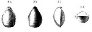 Dielasma ecki (FRANTZEN 1882) Holotypus