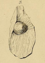 Discinisca discoides (SCHLOTHEIM, 1820) Holotypus