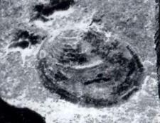 Gregoriusella fimbriata (WARTH 1969) Holotypus