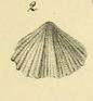 Hirsutella hirsuta (ALBERTI, 1864) Holotypus
