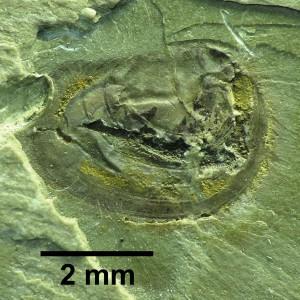 Palaeolimnadia alsatica alsatica REIBLE 1962 Holotypus Samml. Freiburg Nr. 219