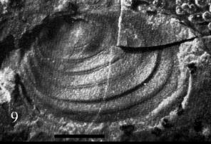 Palaeolimnadia schwanbergensis REIBLE 1962 Holotypus