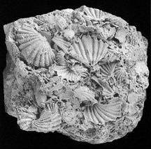 Punctospirella fragilis (SCHLOTHEIM, 1813) Holotypus (Syntypen)